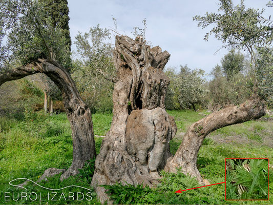 The centre of Naxos has big olive trees – and big snakes: