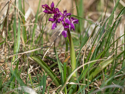 The first orchid species which can be seen in our area: Orchis mascula