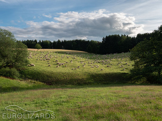 Pastures being grazed by sheep sporadically are an important factor to preserve biodiversity.