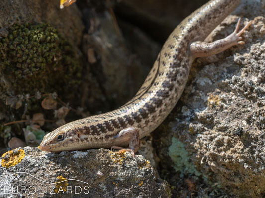 Heremites auratus (Levant Skink): a quite abundant lizard during summer months