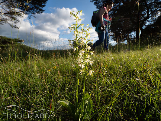 These annoying hikers frequently photo bomb the orchid shots (Platanthera chlorantha)