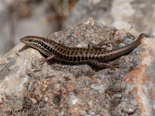 Heremites auratus