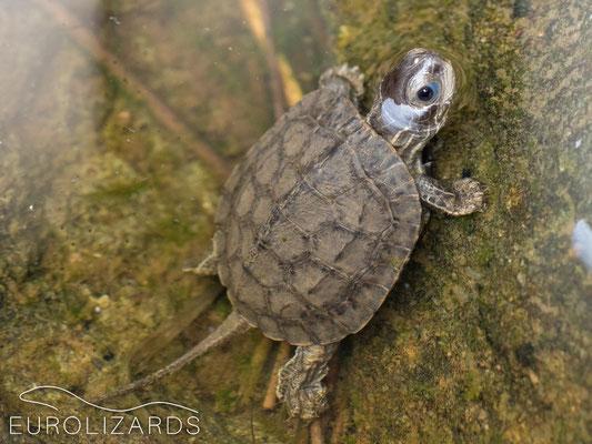 Mauremys rivulata (juvenile)