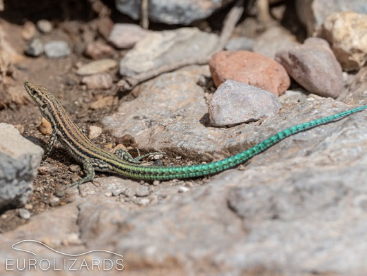 Podarcis hispanicus (Spanish Wall Lizard)