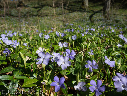 Vinca minor is one of the first pollen sources for insects. Like its relative, the Mediterranean Nerium oleander, it belongs to the dogbane family.