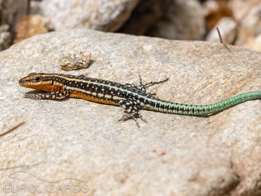 Anatololacerta anatolica oertzeni: juvenile - Note the green tale