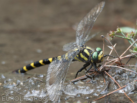 Female Cordulegaster helladica, exhausted after ovipositing