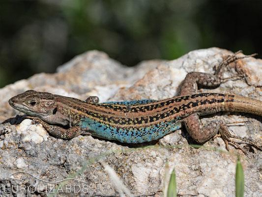 Podarcis peloponnesiacus thais, male: extensive blue on flanks, whitish throat