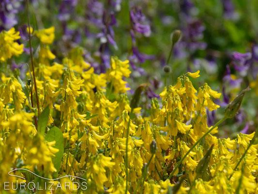 Argolis colors: Melilotus sp. & Vicia sp.