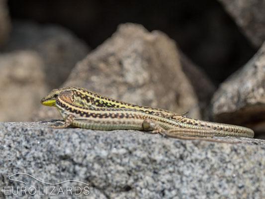 Podarcis erhardii erhardii (pair)