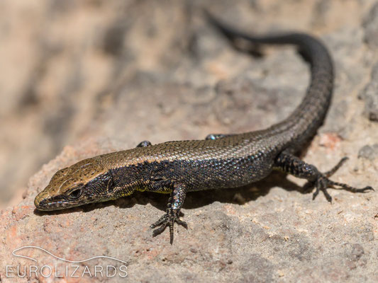 Algyroides marchi – a juvenile basking in October sun