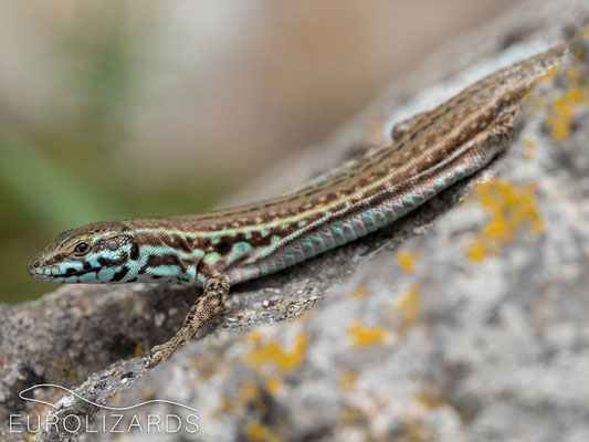 Podarcis milensis: nice female