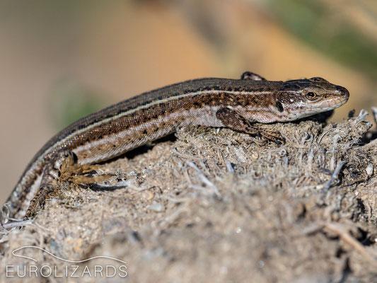 Podarcis bocagei (female)