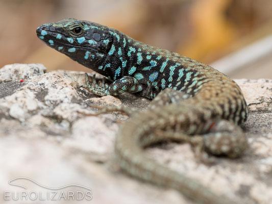 Podarcis milensis (male)