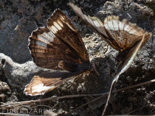 Mating dance of Hipparchia fagi