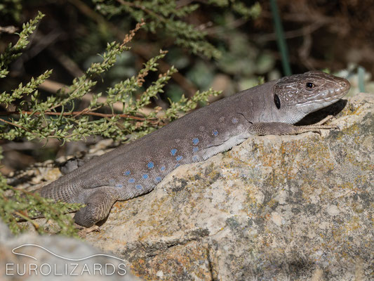 Timon nevadensis – female
