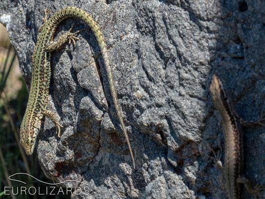 Podarcis liolepis sebastiani
