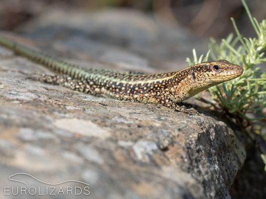 Anatololacerta anatolica oertzeni (Anatolian Rock Lizard): a young male