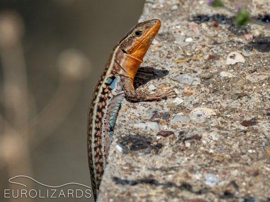 Podarcis peloponnesiaucus (male)