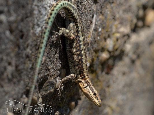 Anatololacerta anatolica anatolica / Anatolian Rock Lizard (female)