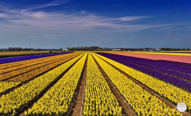 "Bild: flower field Netherlands, ""Lisse flower field 2""; www.2u-pictureworld.de"