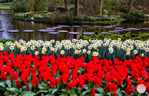 "Bild: fosteriana tulips and narcissus in the Keukenhof of Lisse, Netherlands, ""fosteriana tulips at the lake""; www.2u-pictureworld.de"