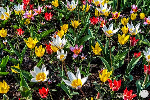 "Bild: mixed flowers, Keukenhof of Lisse, Netherlands, ""flower bed""; www.2u-pictureworld.de"