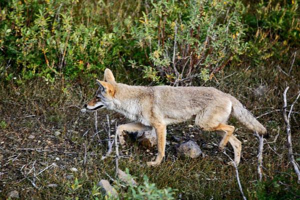 """Bild: Fuchs im Denali Nationalpark, """"Fuchslauf"""""""