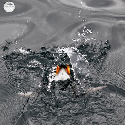 """Bild: unter Wasser tauchender Puffin im Golf von Alaska, """"abgetaucht"""""""