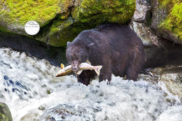 "Bild: Schwarzbär am Anan Creek, Wrangell Alaska; ""dem Bären zum Fraß"""