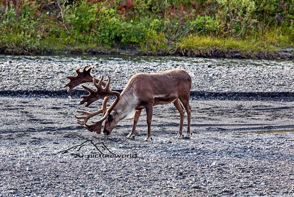 "Bild: Karibu im Denali Nationalpark, ""Futtersuche"""