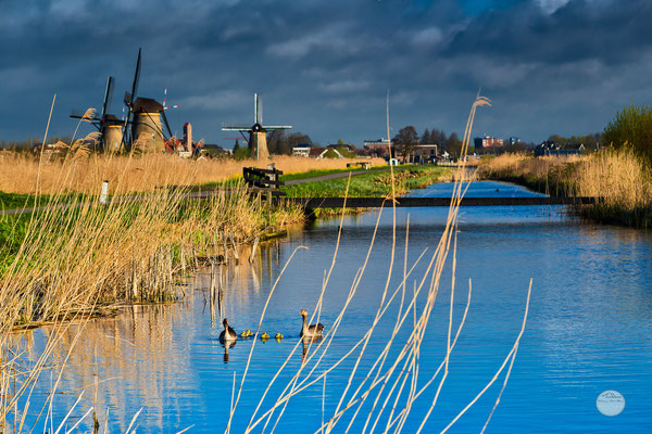 "Bild: a goose family at Kinderdijk, Netherlands, ""a goose family on the water way"", www.2u-pictureworld.de"