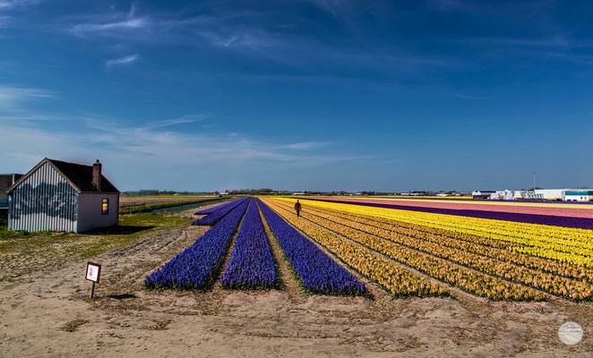 "Bild: flower field in Lisse, Netherlands, ""Lisse flower field"", www.2u-pictureworld.de"
