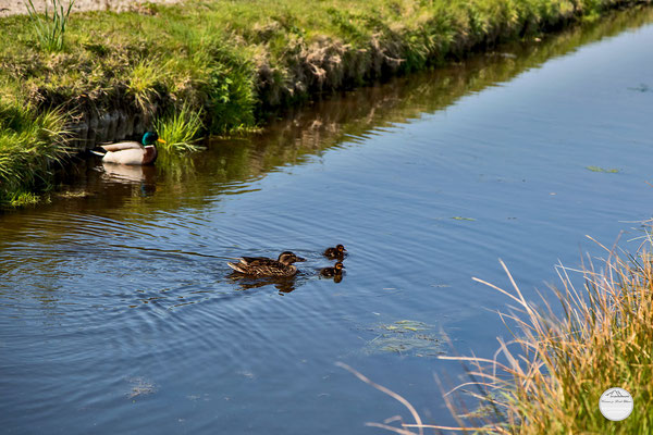 "Bild: ducks on a creek near Lisse, Netherlands, ""alle meine Entchen ...""; www.2u-pictureworld.de"