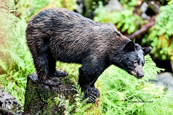 "Bild: female bear in Anan Creek, ""Hi I`m Susi from Anan Creek"""