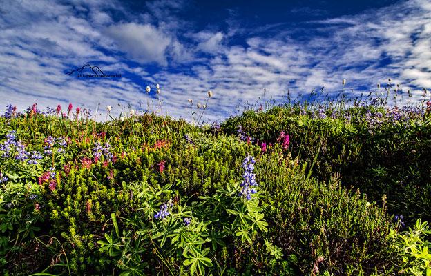 Bild: Bergblumenweg, Mount Rainier NP