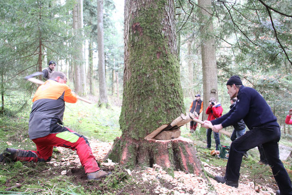 シュヴァルツヴァルト「黒い森」タンネ 欧州モミ アビエス・アルバ サプライズ伐採