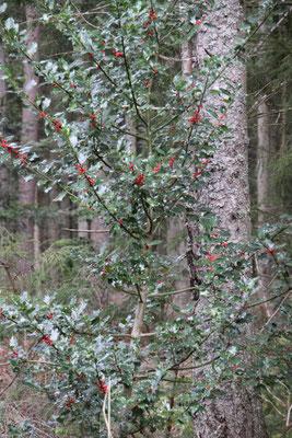 シュヴァルツヴァルト「黒い森」ヒイラギ ホーリー 国有林散策 ロースブルク