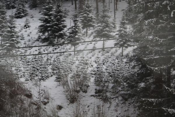 シュヴァルツヴァルト「黒い森」クリスマスツリー用植林畑
