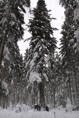グロスファータータンネ 欧州モミ アビエス・アルバ 国有林散策 ロースブルク