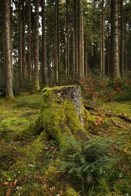 シュヴァルツヴァルト「黒い森」タンネ 欧州モミ アビエス・アルバ 国有林散策 ロースブルク
