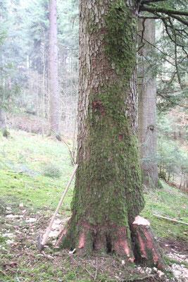 シュヴァルツヴァルト「黒い森」タンネ 欧州モミ アビエス・アルバ 伐採