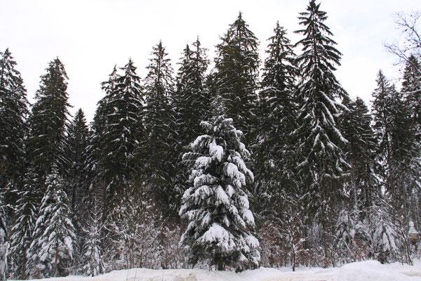 シュヴァルツヴァルト「黒い森」タンネ 欧州モミ アビエス・アルバ2012