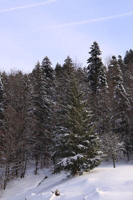シュヴァルツヴァルト「黒い森」タンネ 欧州モミ アビエス・アルバ