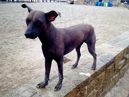 Weird, hairless Peruvian dog