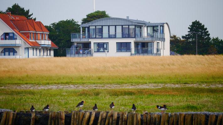Austernfischer vor der Ferienwohnung Küstentraum.