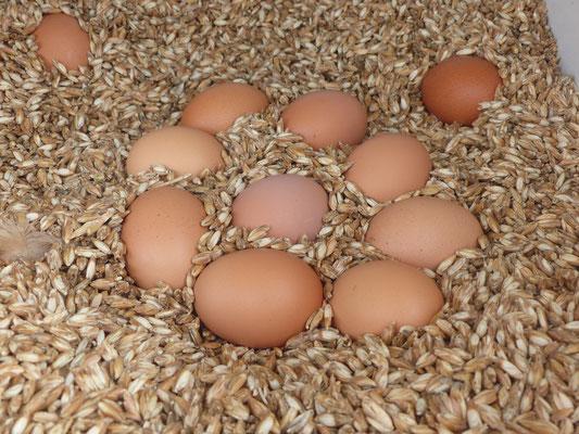 Hühnereier liegen in Getreide