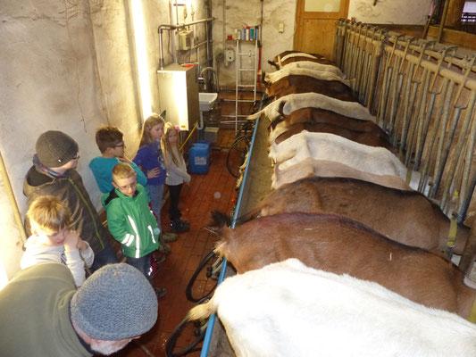 Die Schüler beobachten das Melken im Stall