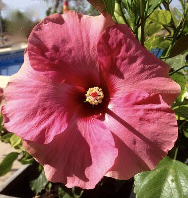 Hibiscusblüte...