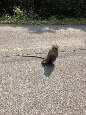 Monkey on the street in Koh Chang, Thailand